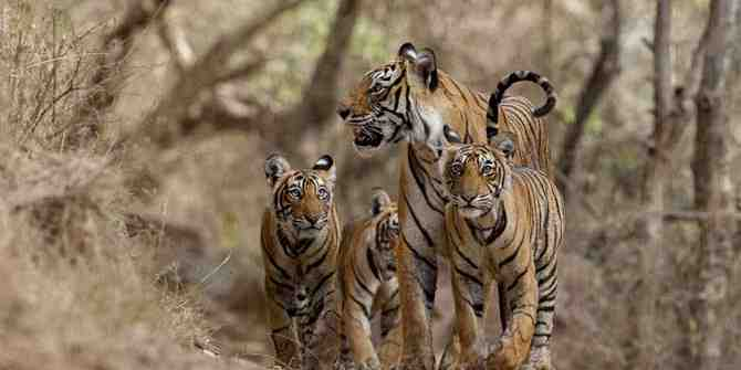 Ranthambhore's isolation causes concern over inbreeding.