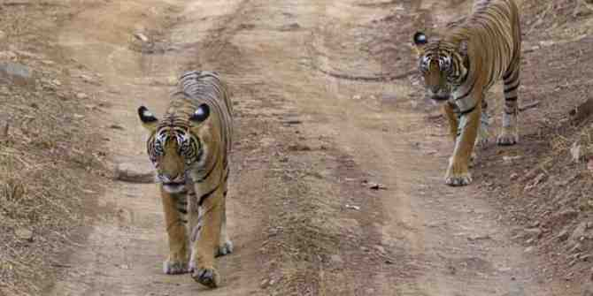 2 Tigers found dead in Maharashtra