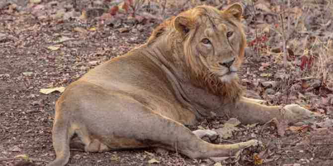 36 Asiatic Lions to be reintroduced to the wild