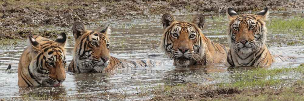 Krishna & 3 cubs in pool
