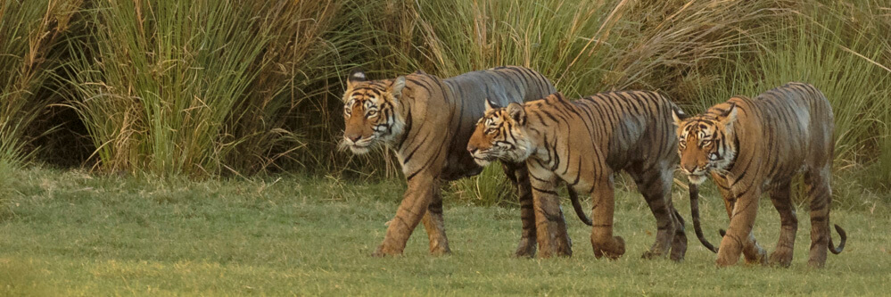 Krishna walking with 2 of her cubs