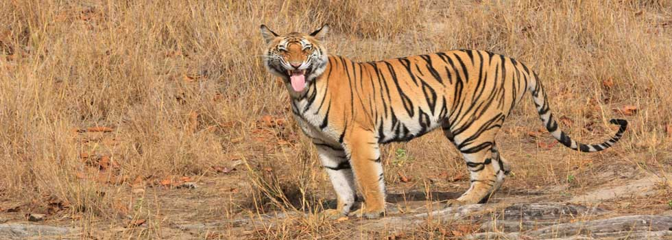 5707. Young Jhurhura tigress flemen