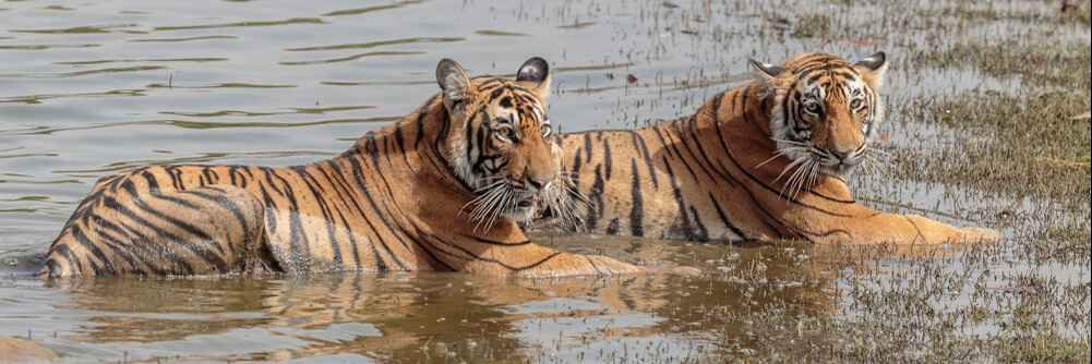 Two of T.19's cubs in the Rajbagh