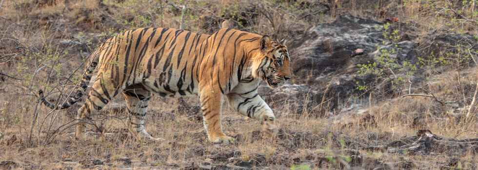 B2 of Bandhavgarh