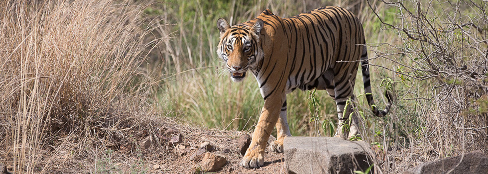 Tigress known as Krishna on the prowl