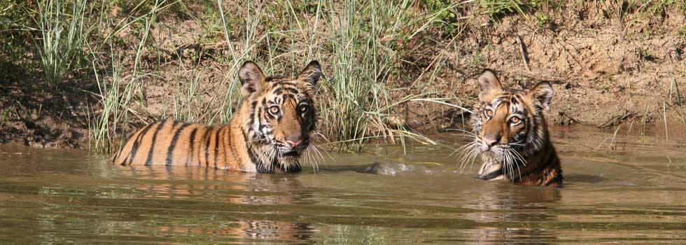 Cubs at Bandhavgarh