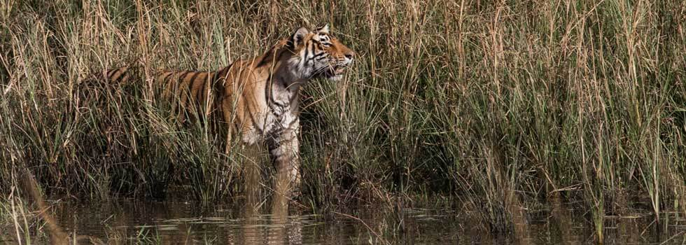 Stalking tigress