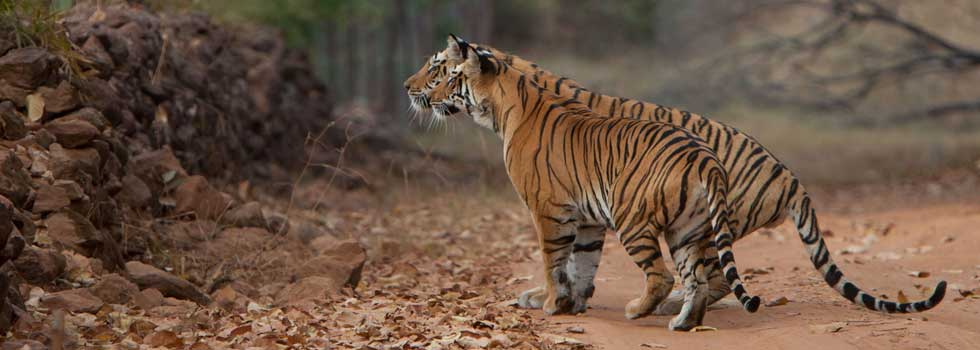 Tigress with sub adult male