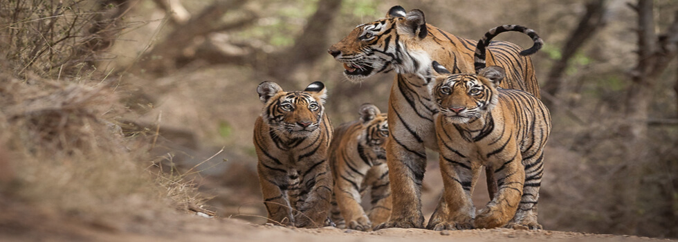 Machali and cubs at Nalghatti