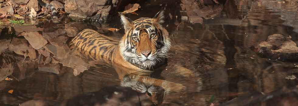 4984. Young Ranthambhore male tiger in pool.