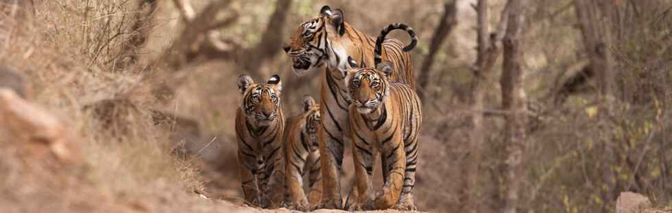 'Machali' and cubs (Panthera tigris tigris) at Nalgatti