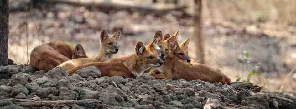 Dhole at Pench