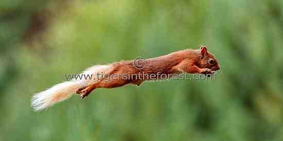 Red Squirrel (Sciurus Vulgaris) at the Cairngorms National Park
