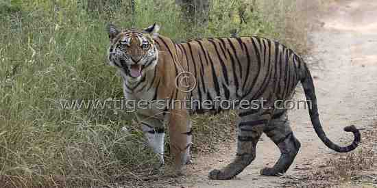 Angry young tigress