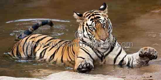 Such huge paws! (Panthera tigris tigris)