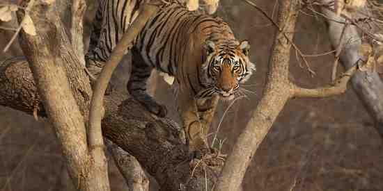 Tree tiger! (Panthera tigris tigris)