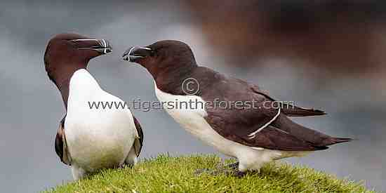 Razorbills (Also torda) seen on Mull