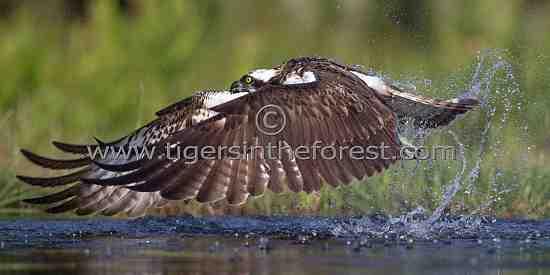 The 'ghostly' Osprey (Pandion haliaetus)