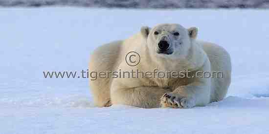 An adult male Polar Bear (Ursus Maritimus) resting on the ice flow