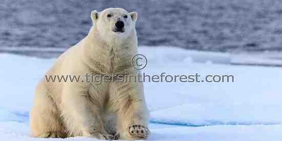 Curious male Polar Bear (Ursus Maritimus)