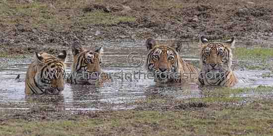 One of my favourite photos of a Tigress (Panthera tigris tigris) with cubs