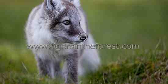 Arctic fox (Alopex lagopus)