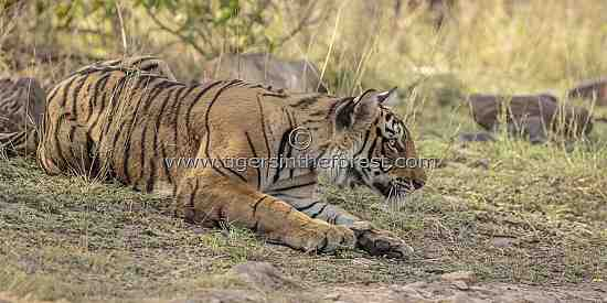 Young tigress (Panthera tigris tigris) crouching