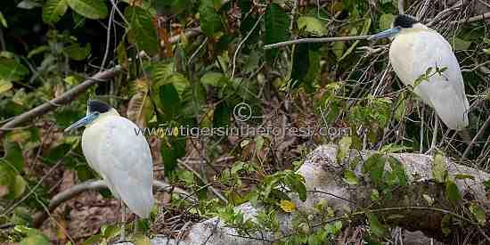 Capped Herons (Pilherodius Pileatus)