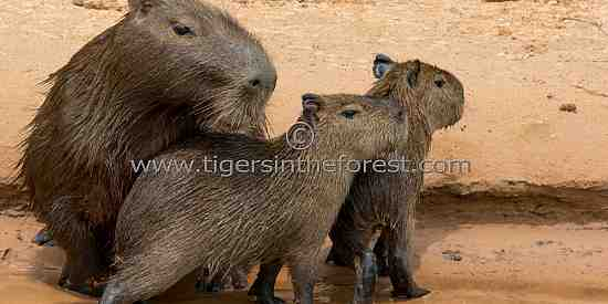 This small family of Capybara (Hydrochaerus Hydrochaeris)  were resting together along a riverbank at The Pantanal.