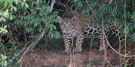 Jaguar (Panthera Onca) emerging from its forest cover.