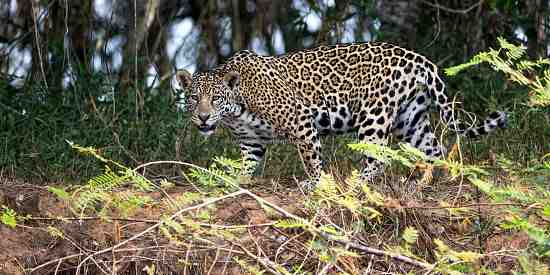 Young female Jaguar (Panthera Onca) seen from the river at The Pantanal in October .