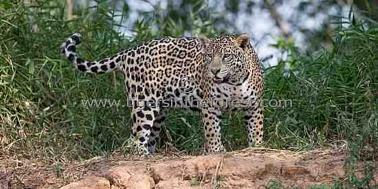 A curious Jaguar (Panthera Onca) watching as my small boat passed by