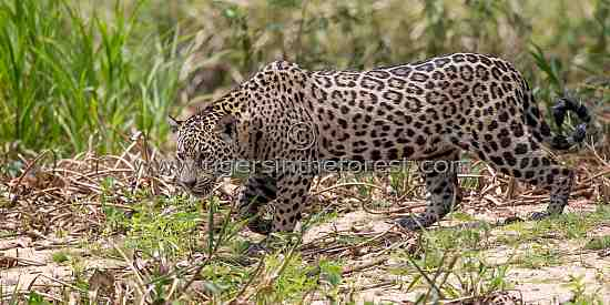 Jaguar (Panthera Onca) stalking prey in The Pantanal.
