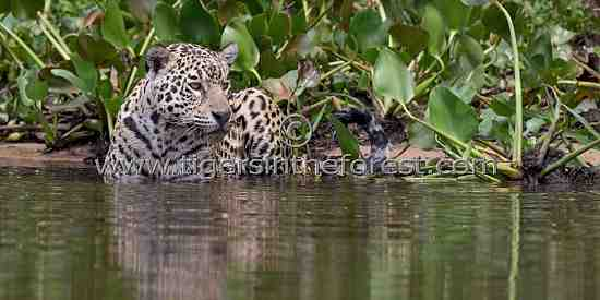 Jaguar (Panthera Onca) enjoying the cool waters of The Pantanal.