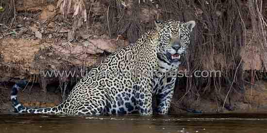Male Jaguar (Panthera Onca) resting in the shallows of a river.