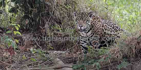 Jaguar (Panthera Onca) silently appearing from the forest