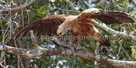 Black Collared Hawk (Busarellus Nigricollis)
