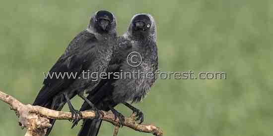 A friendly pair of noisy Jackdaws (Corvus monedula)