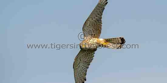 Eurasian Kestrel (Falco tinnunculus) in flight.