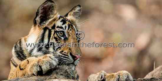 Young male tiger at Bandhavgarh (Panthera tigris tigris)