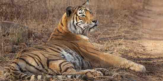 Machali the Queen of Ranthambhore (Panthera tigris tigris)