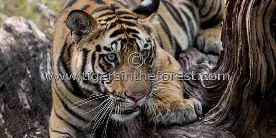 'Kelua' of Bandhavgarh. (Panthera tigris tigris)