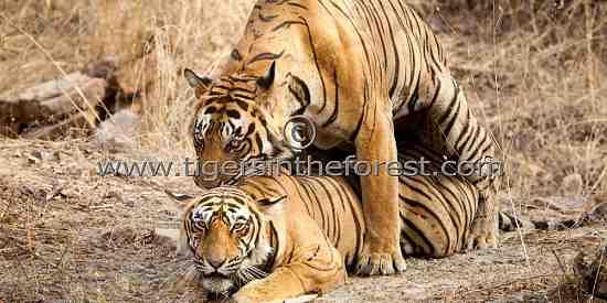 Tigers mating (Panthera tigris tigris)