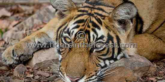 A sleepy young tiger (Panthera tigris tigris)