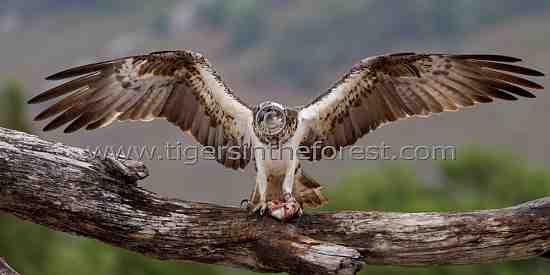 Osprey in Scotland. (Pandion haliaetus)