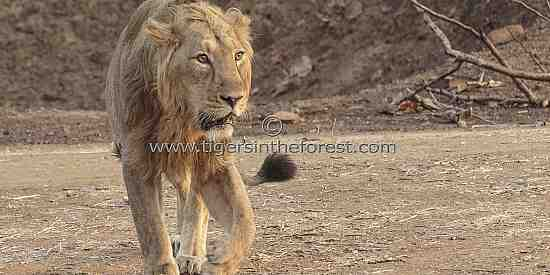 Male Asiatic Lion (Panthera leo persica)