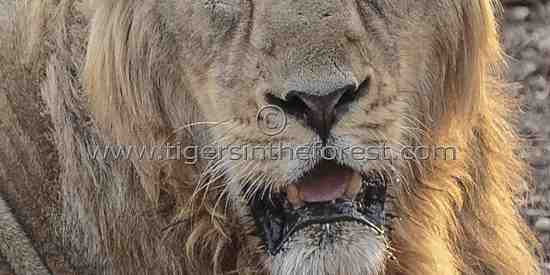 Close up of an adult male Asiatic lion (Panthera leo persica)