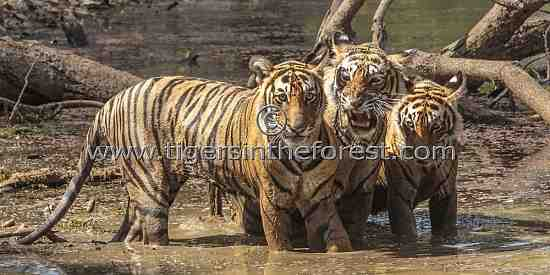 Tigress (Panthera tigris tigris) Noor with two of her cubs at a waterhole