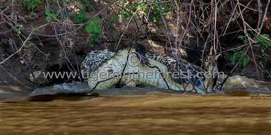 Another picture of the fight between a Jaguar (Panthera Onca) and a Black Caiman (Melanosuchas Niger)