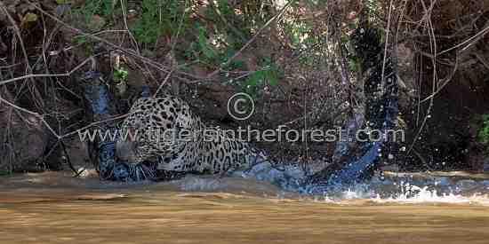 Male Jaguar (Panthera Onca) fighting and killing a large Black Caiman (Melanosuchas Niger)